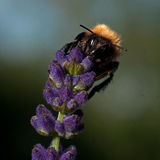The common carder bee Bombus on a Lavender Royalty Free Stock Image
