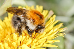 Common carder bee (Bombus pascuorum) Royalty Free Stock Photo