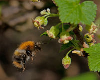 The common carder bee Bombus pascuorum Royalty Free Stock Photos