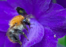 Common Carder Bee Royalty Free Stock Photos