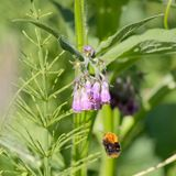 Flying Bumblebee Bombus pascuorum. A common carder bee heading towards flowers to collect nectar and spread pollen royalty free stock image