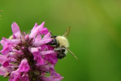 A common carder bee pollinating some flower in Slovakia grassland. Green background Stock Image