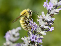 Common Carder Bumblebee Stock Photography