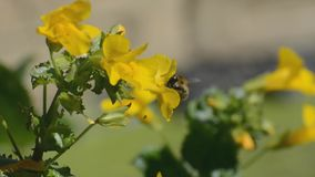 Common carder bumblebee struggling on windy day stock footage