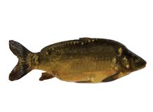 Common carp Royalty Free Stock Photography