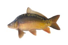 Common carp. Stock Photography
