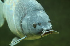 Common carp. The detail of common carp Stock Photography
