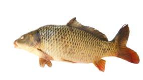 Common carp Stock Images
