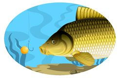 Common carp catching on bait Royalty Free Stock Photo