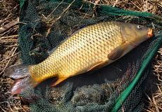 The Common carp (Cyprinus carpio) Stock Images