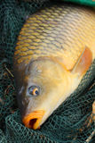 The Common carp (Cyprinus carpio) Stock Image