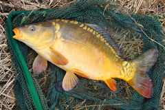 The Common carp (Cyprinus carpio) Stock Photography