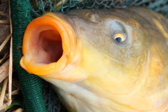 The common carp (Cyprinus carpio) Royalty Free Stock Photography