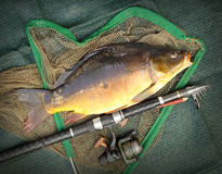The Common Carp ( Cyprinus Carpio ). Royalty Free Stock Photography