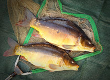 The Common Carp ( Cyprinus Carpio ). Royalty Free Stock Photos
