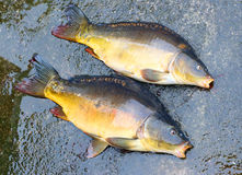 The Common Carp ( Cyprinus Carpio ). Royalty Free Stock Image