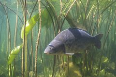 Common carp Cyprinus carpio. Freshwater fish carp Cyprinus carpio in the beautiful clean pound. Underwater shot in the lake. Wild life animal. Carp in the nature stock images