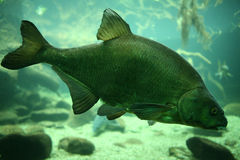 Common carp. (Cyprinus carpio) in a river Royalty Free Stock Images
