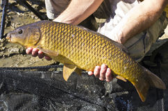 Common Carp fish Stock Image