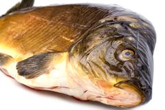 Common Carp fish Isolated on White Background Royalty Free Stock Image