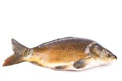 Common Carp fish Isolated on White Background Stock Photography