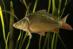 Common carp fish  in the pond Royalty Free Stock Images