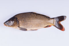 Common carp fish on white background Stock Photography