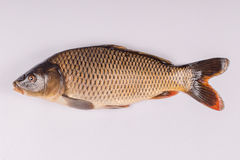 Common carp fish on white background Royalty Free Stock Image