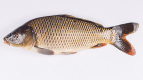 Common carp fish on white background, Royalty Free Stock Photography