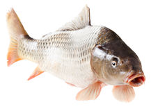 Common carp fish on white background Stock Images