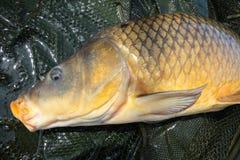 Common Carp Fishing Landing Net stock photos