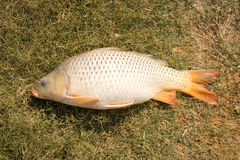 Common carp on grass. Side view of common carp fish on grass Stock Images