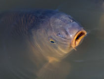 Common carp. A common carp gulping air at the surface Royalty Free Stock Images