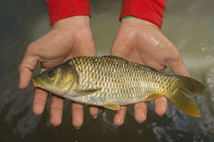 Common carp are in the hands of men royalty free stock photos