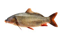 Common carp. Isolated on white background royalty free stock photos