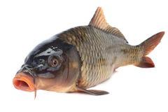 Common carp Royalty Free Stock Photos