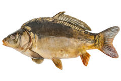 Common carp isolated on white Stock Photography