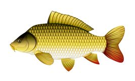 Common carp. Realistic common carp, eps10 illustration with transparent objects and mask opasity, isolated vector illustration