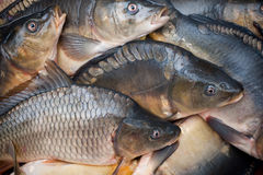 Common carps stock images