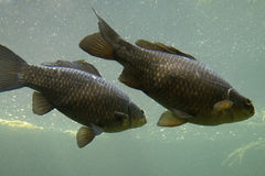 Common Carps Royalty Free Stock Image