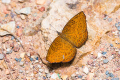 Common Castor butterfly Stock Image