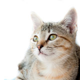 Common cat Royalty Free Stock Image