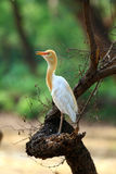 Common cattle egret. Looking great on dry tree stock photos