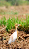 Common cattle egret. Looking great in fields stock photo