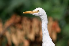 Common cattle egret. Closeup shot of common white cattle egret royalty free stock photo