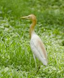 A common cattle egret in a garden. A common cattle egret looking for insects after rain in a garden stock photo