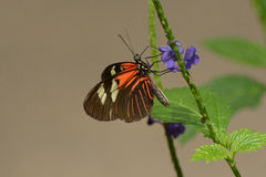Common Cattleheart Butterfly or Parides iphidamus Royalty Free Stock Images