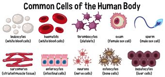 Common cells of the human body. Illustration vector illustration