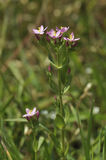 Common Centaury Royalty Free Stock Photo