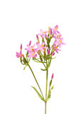 Common centaury (Centaurium erythraea). Colorful and crisp image of common centaury (Centaurium erythraea Royalty Free Stock Images